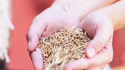 Hands with wheat grains Stock Video Footage
