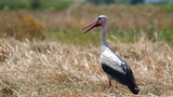 Stork standing in a harvested field Footage