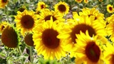 Sunflower blossoms close up Footage