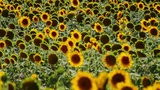 Sunflower field Footage
