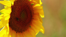 Sunflower detail Stock Video Footage