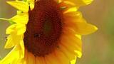 Sunflower detail Footage