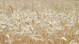 Field of ripe rye Footage