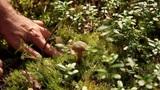 mushroom picking Footage