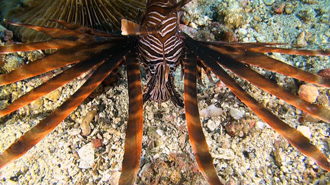 Lionfish hunts small shrimps Footage