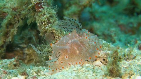 Dorid Nudibranch Footage