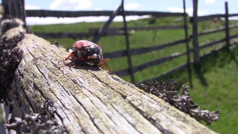 Beetle goes on a wooden beam 16 Footage