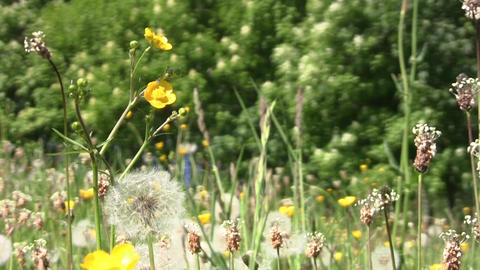 Dandelion fluff and yellow flowers in the warm summer wind 91 Footage