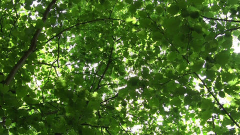 Looking towards the sun that shines through the green leaves of deciduous forest Footage