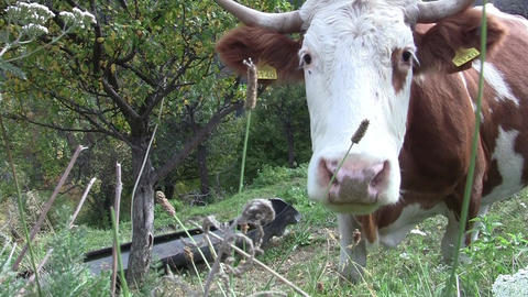 Brown cow grazing at the edge of the road on a mountainous coast 39 Footage