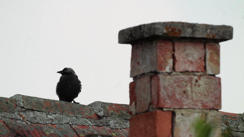 Crow looks on the high ridge of a roof 483 Footage