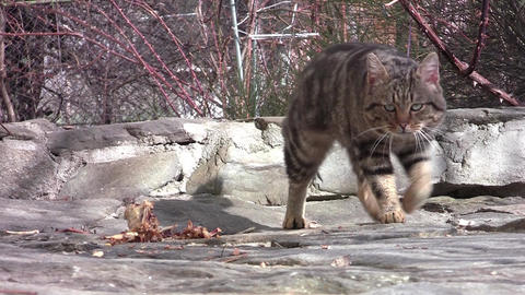 Tomcat with blue eyes go to walk through the yard 04 Footage