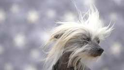 Chinese Crested Dog Footage