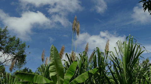 Cornfield and banana trees at coffee plantation Footage
