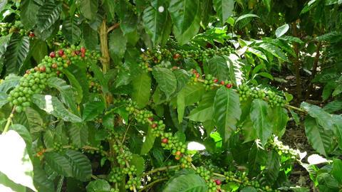 Coffee plantation Selva Negra, beans Footage