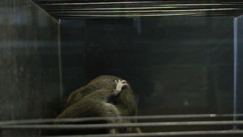 Two gray rats fighting Footage