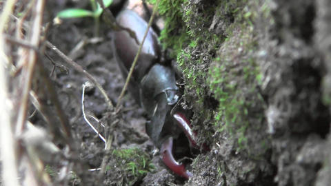 Stag beetle or Lucanus cervus looking for moisture, shade in the base of a oak Footage