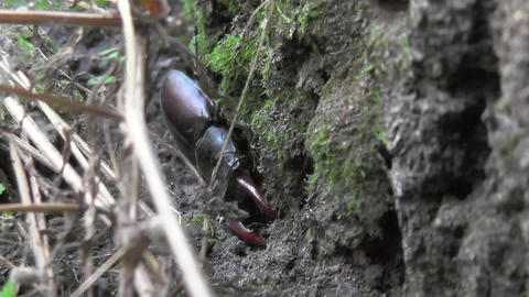 Stag beetle Lucanus cervus looking for moisture, shade at the base of oak tree Footage