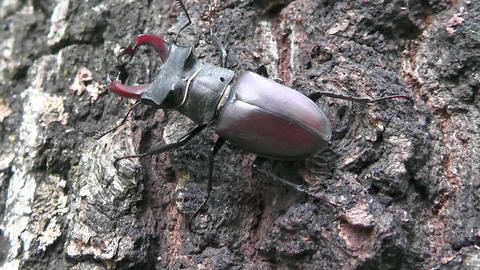 Coleoptera Lucanidae Stag beetle or Lucanus cervus alarmed and runs Footage