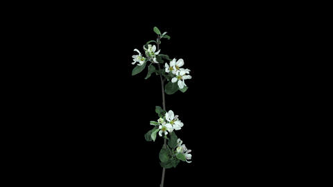 Time-lapse of blooming apple tree branch in RGB + ALPHA matte format Footage