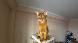 Abyssinian cat portrait Live Action