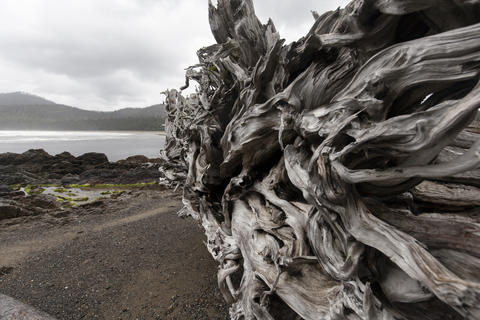 Driftwood tree root on beach Photo