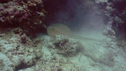 Bluespotted Stingray in the sea Footage