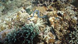 Banded Sea Snake Footage