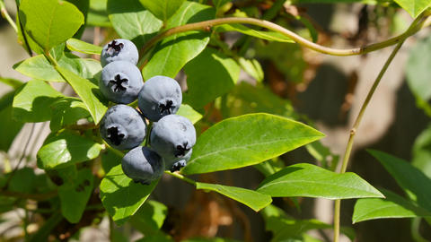 Blueberry moving by wind on branch Footage