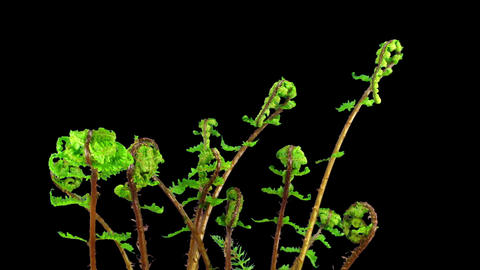 Time-lapse of growing baby fern plants in RGB + ALPHA matte format Footage