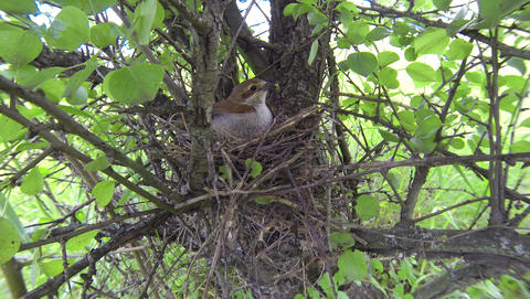 Red-backed shrike female on the nest with young chicks. Male of Lanius collurio  Footage