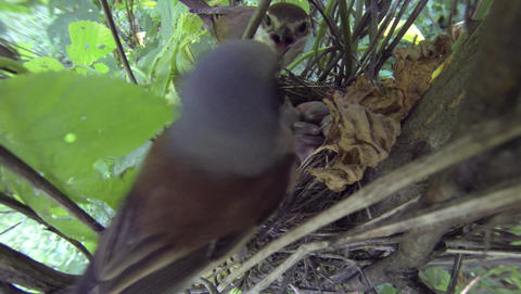 Nest with chicks Red-backed shrike Lanius collurio. Male and female birds near t Footage