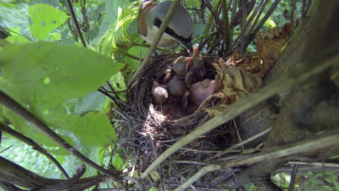 Male Red-backed shrike Lanius collurio feeds chicks, takes dung from the nest. N Footage