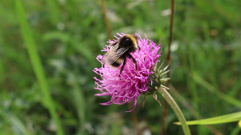 Bumblebee on a flower blossom gathering nectar Footage
