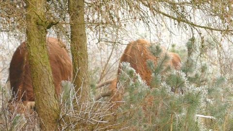 Group of Highland cattles behind pine trees in winter landscape at National Park Footage