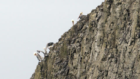 Wild Animal Bird Pelicans Braving Strong Winds Sheer Cliff Bluff Footage