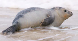 Seal on the Beach of Amrum in Germany Footage
