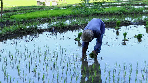 Indonesia farmer seeding and setting rice plants on a field Live Action