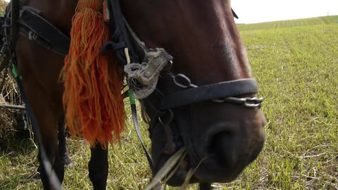 Horse harnessed to a wagon that eating dry hay 05b Footage