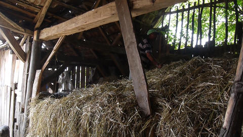 Men who move hay which is brought in a cart in a barn yard 11 Footage