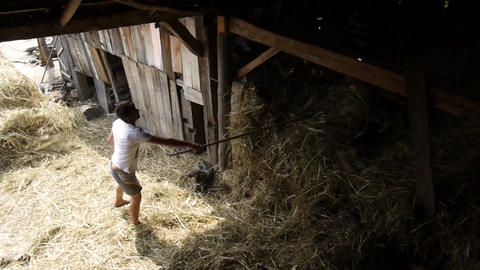 Men who move hay which is brought in a cart in a barn yard 13a Footage