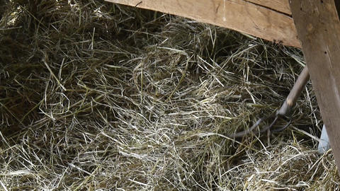 Men who move hay which is brought in a cart in a barn yard 13c Footage