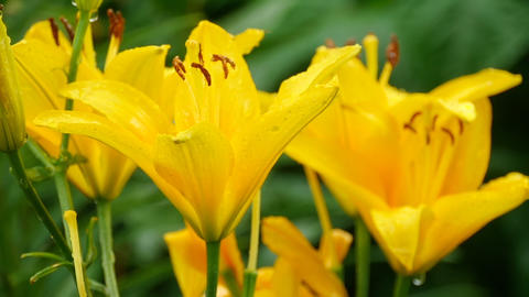 Yellow Lily flower after rain Footage