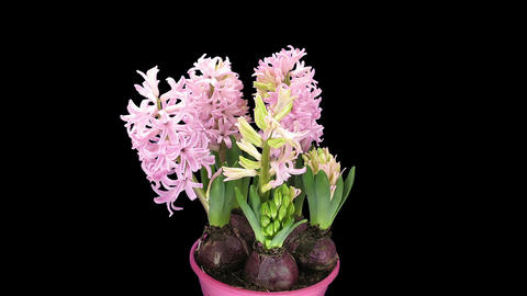 Time-lapse of growing pink hyacinth flower in RGB + ALPHA matte format