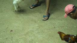 Cock fighting in the Philippines Footage