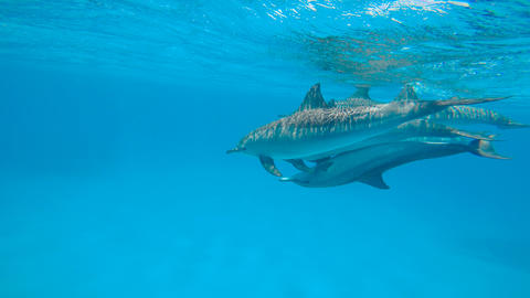 Dolphins mating season. Reef Sataya.. Diving in the Red sea near Egypt Live Action