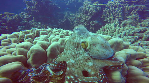 An octopus quickly changes color, shape and the structure of your body. Reef Cla Footage