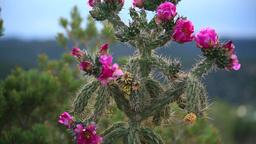 cactus bloom Footage