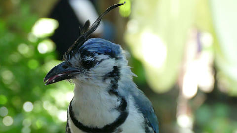 Close up of an White throated Magpie Jay Footage