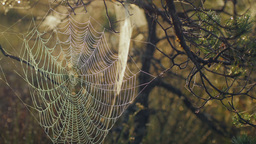 Cobweb with morning dew during a sunrise in marshland Footage